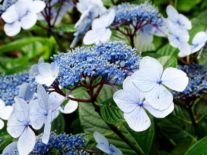 Flower Collection Hortensia Flower Head Flower Leaf Petal White Color Close-up Plant Blooming
