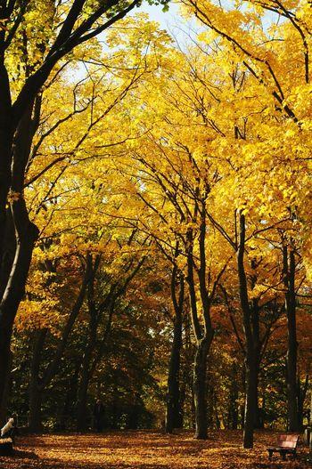 Walking Around Enjoying The Sun Atumn Colorful Woods Spaziergang Durch Den Herbst. Relaxing Naturephotography Taking Photos Yellowtree ach du bunt geschmückter Herbst, verzauberst mich mit deinen Farben.
