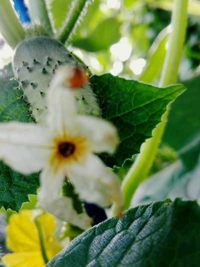 Cucumber Spines Slowfood Cucumber Close-up Cucumber Plant Cucumber Blossom No People Wolfzuachis Vegetable Edited By @wolfzuachis On Market Wolfzuachiv Huaweiphotography Showcase: 2017 Veronica Ionita @WOLFZUACHiV Eyeem Market Ionita Veronica Showcase: June Cucumber Flower Growth Cucumber Leaf