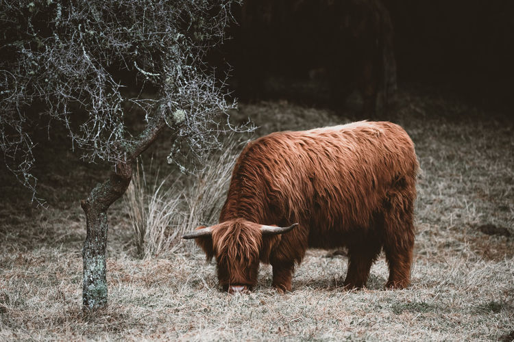 Highland cow or cattle in field