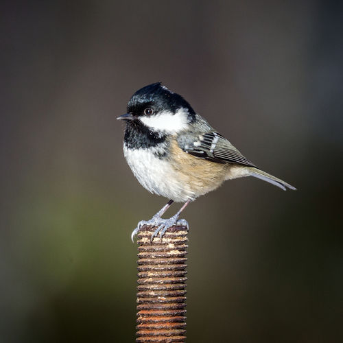 Close-up of great tit perching on metal