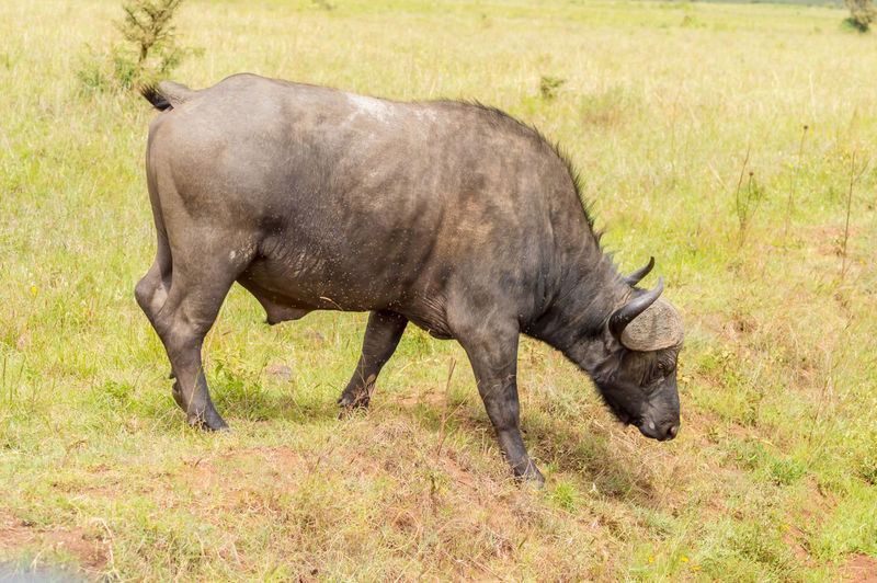 Animal Themes One Animal Mammal Animal Animal Wildlife Herbivorous Vertebrate Grazing Nature Buffalo Nairobi National Park Kenya African Safari