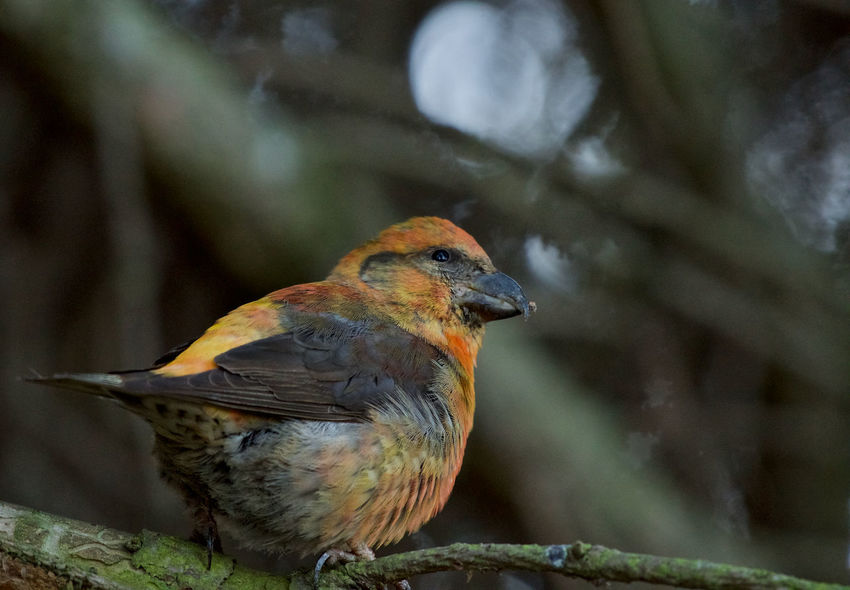 Male Loxia Curvirostra Animal Themes Animal Wildlife Animals In The Wild Beauty In Nature Bird Close-up Colorful Day Focus On Foreground Male Nature No People One Animal Outdoors Perching Red Crossbill
