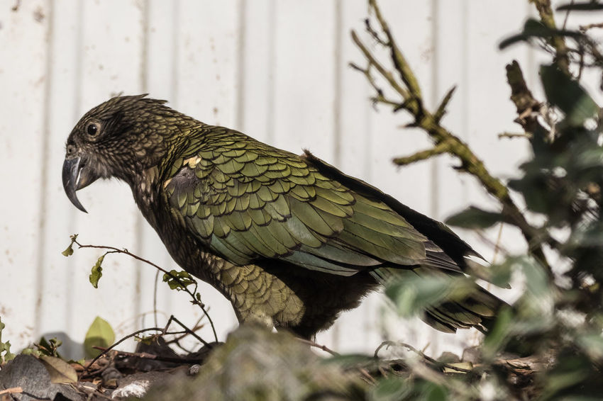 """The kea is a large, strong-flying, olive-green parrot with scarlet underwings and a slender grey-black bill. Sexually dimorphic, female body mass is about 20% less than males and the bill is shorter. Juveniles have yellow ceres and eyelids, which fade to grey as the bird matures. The commonest call is a long, loud, high-pitched descending cry which may be broken """"kee-ee-aa-aa"""", or unbroken """"keeeeeaaaa"""". Many quiet contact calls are given. Juvenile calls are less stable in tone, being more of a loud uncontrolled whooping or squealing. http://nzbirdsonline.org.nz/species/kea Alpine Green Color Animal Bird Close-up Kea Nature Parrot"""