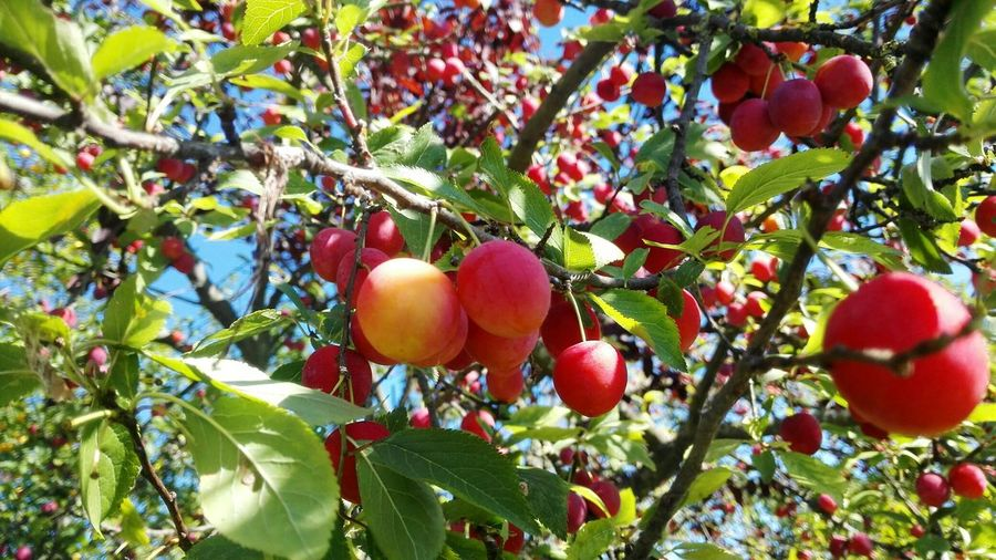 Fruit Tree Food And Drink Food Growth Leaf Freshness Branch Outdoors Day Nature Low Angle View Healthy Eating Hanging No People Red Agriculture Green Color Beauty In Nature Close-up Plum Fruit Plums Tree Plums On The Tree Plums On The Branch Plums