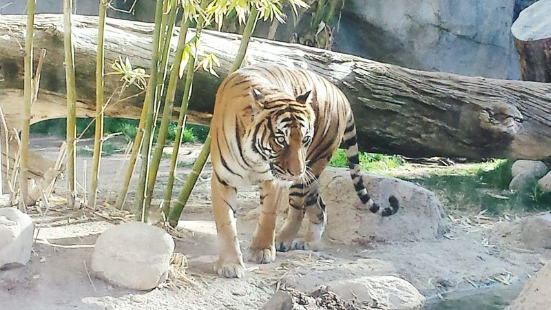 No People Animal Themes Outdoors Nature Day Mammal Zoo Animals  Zoo Tiger Love Tiger