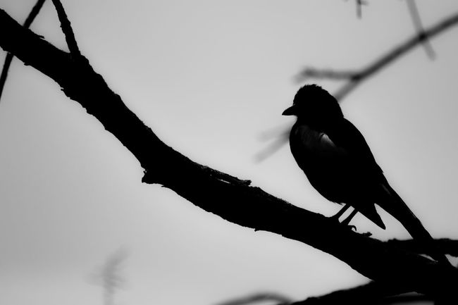 Against The Light Animal Beauty In Nature Bird Bird Photography Birds Black Color Branch Day Magpie Outdoors Perching Selective Focus Shadow Sky Wildlife Monochrome Photography
