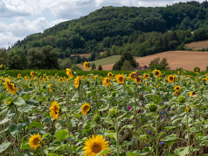 Scenic view of sunflower field against cloudy sky