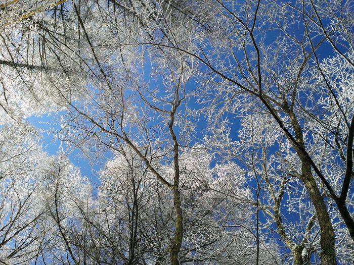 Hoarfrost Glazed Frost Freezing Rain Freezing Fog 霧氷 雨氷 氷 寒い 冬 氷点下 朝 青空 高原 Tree Branch Backgrounds Full Frame Sky Woods Sunrays Forest