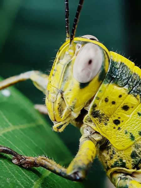grasshopper pest to agriculture communities Leaf Insect Full Length Close-up Animal Themes Green Color Grasshopper Animal Wing