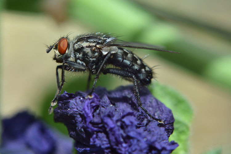 The Fly Invertebrate Insect Animal Themes Animal Animals In The Wild Close-up One Animal Animal Wildlife Flower Flowering Plant Purple Plant Selective Focus Nature Day Focus On Foreground Beauty In Nature Fragility Vulnerability  No People Outdoors Flower Head Pollination