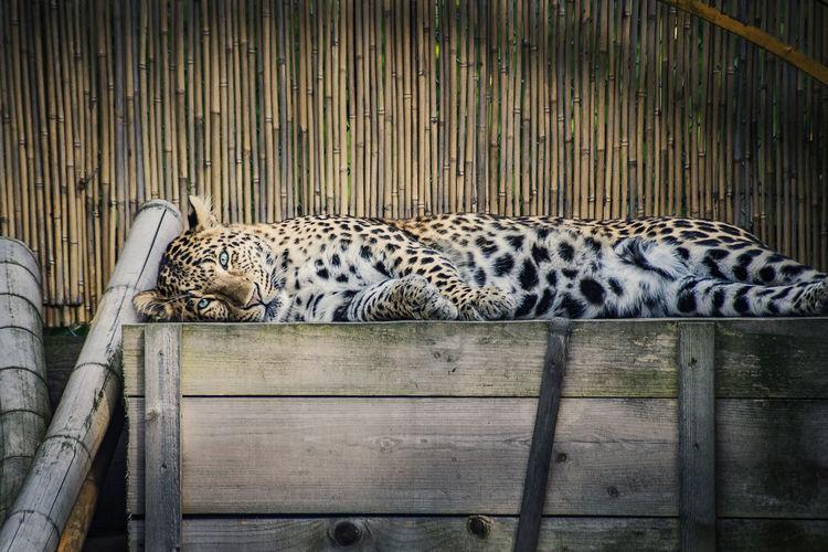 Leopard im Zoo Animal Themes Animal Wildlife Beatiful Leopard Safari Animals Relaxation Zoo Cat Family Big Cat First Eyeem Photo