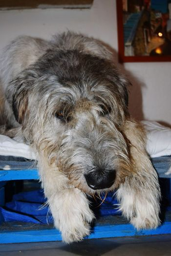 Domestic Animals Pets Dog Looking At Camera Portrait Indoors  Sleeping Time ~ Close-up January 2017 Winter 2017 Bokeh Cearnaigh Irish Wolfhound Dogslife Dogs Of EyeEm Dog Of The Day Doglover