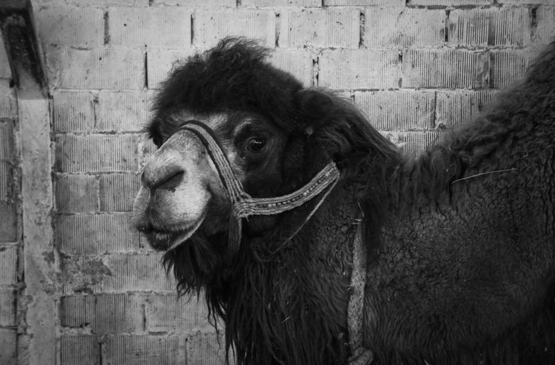 Samsungphotography EyeEmNewHere Camel Animal Themes Animal Farm Agriculture Close-up Working Animal Farmland
