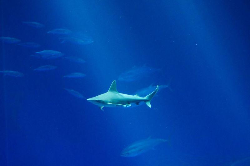 Shark Swimming Undersea