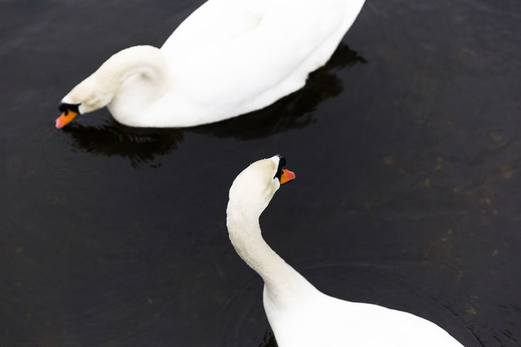 Animal Themes Animal Wildlife Animals In The Wild Beak Beauty In Nature Bird Close-up Day High Angle View Lake Nature No People One Animal Outdoors Swan Swimming Water Water Bird White Color