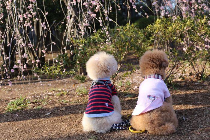 Ohanami Japanese Culture DogLove My Toypoodle I Love My Dog Japon Japan Cute Pets Cutedogs Enjoying Life