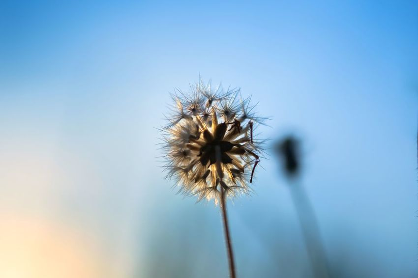 Aging Beauty In Nature Close-up Dandelion Day Fall Flower Flower Head Fragility Freshness Growth Nature No People Outdoors Plant Seed Sky Softness Thistle Uncultivated Wilted Flower