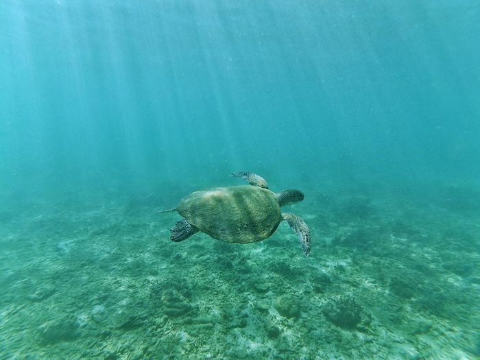 Wildlife turtle in lampuuk coastal, aceh indonesia