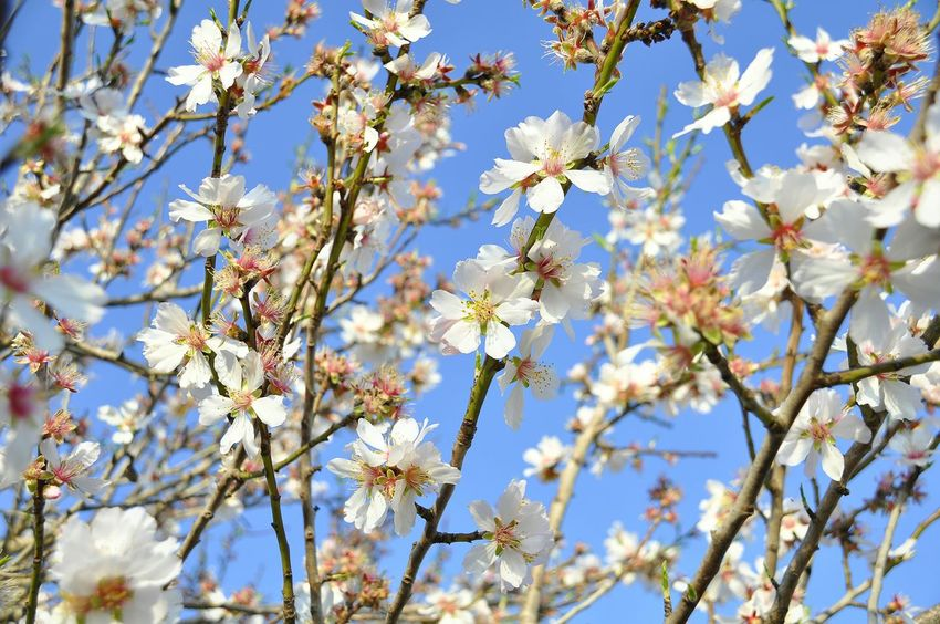 Nature Growth Beauty In Nature Springtime Close-up Tree No People Blossom Outdoors Branch Freshness Low Angle View Flower Fragility Day Sky Plant Flower Head Flowering Almond Tree Almond Blossom Almond Flowers Freshness Almond Tree Beauty In Nature Plum Blossom