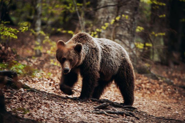 Bear walking on land in forest