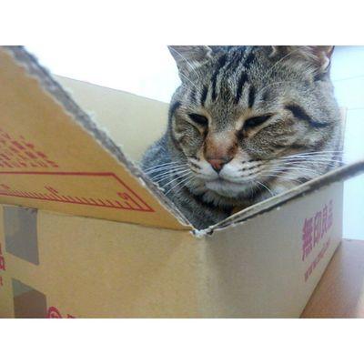 箱に入って うとうと...♡ ・ ねこ にゃんこ 猫 にゃんだふるらいふ ねこ部 ig_cat cat_stagram nekostagram neko instagram_cats kintarou 箱入り息子 2歳10ヶ月きんたろう ・ 2015.4.6