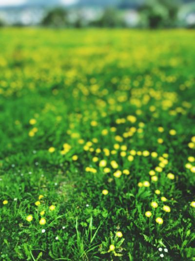 Growth Nature Green Color Field Beauty In Nature Grass No People Fragility Day Yellow Outdoors Tranquility Flower Close-up Freshness Scenics Landscape Flower Head