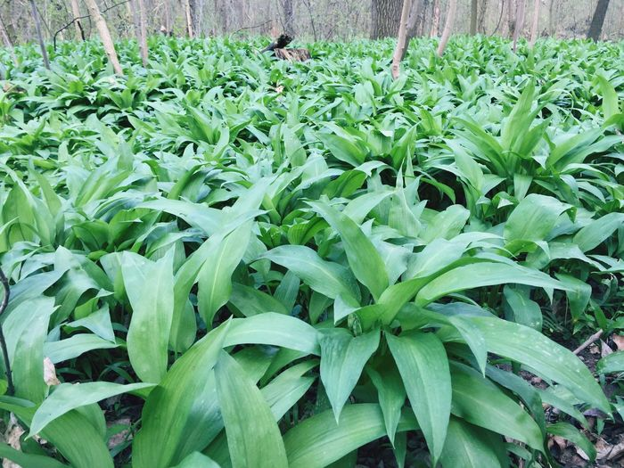 Bärlauch  Forest Green Plant Ramson Green Green Green!  Green Color #wildgarlic