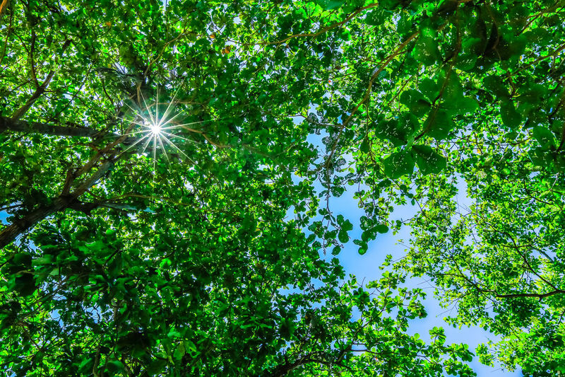 Backgrounds Bangka Island Beauty In Nature Branch Day EyeEm Gallery EyeEm Nature Lover Freshness Green Color Growth Leaf Looking Up Low Angle View Manado Nature No People Outdoors Sky Tranquility Tree Sun Flare