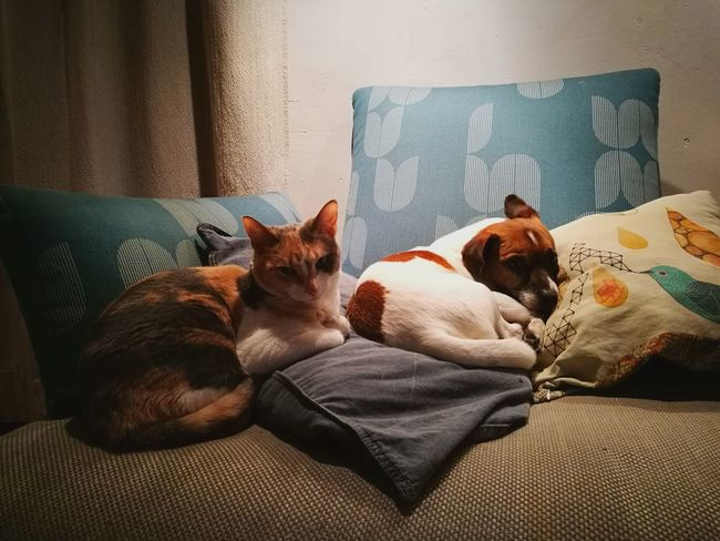 Domestic Cat Dog Cat Love Jackrussell Pillowpet Lying Down Pets Animal Themes EyeEmNewHere Pet Portraits