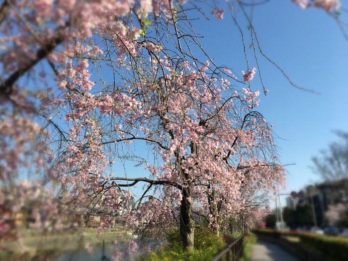 Cherry Blossoms Sakura Sakura 2017 Kyoto Sakura Sky Kyoto Sakura 2017 Kyoto,japan Kyoto Sakura Kyoto Spling
