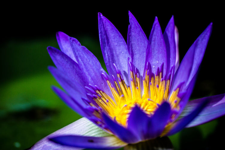 The Water Lily Beauty In Nature Blooming Blossom Botany Close-up Day Flower Flower Head Focus On Foreground Fragility Freshness Growth In Bloom Fine Art Photography Outdoors Petal Pink Color Plant Pollen Purple Selective Focus Stamen Stem Water Lily