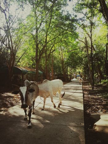 Cowsnature No People Domestic Animals Beauty In Nature Animal Themes Tree Temple