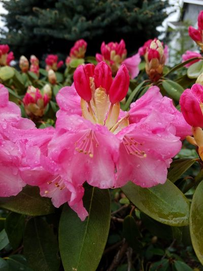 Pink rhododendron in bloom with rain drops Spring Rain April Showers Outdoor Photography Outside Photography Outdoors Outside Springtime Pink Pink Color Pink Flower Pinl Pink Flowers Flower Head Flower Water Peony  Pink Color Petal Close-up Plant Rhododendron Stamen Pistil Plant Life In Bloom Blossom Botany