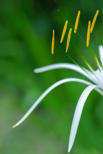 White Spider Lily with Green Background. Background Beauty In Nature Botany Close-up Detail Green Nature Petals Plant Pollen Selective Focus Spider Lily Springtime Stamens White Color Yellow