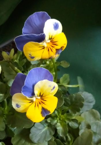 Pansy... Pansy