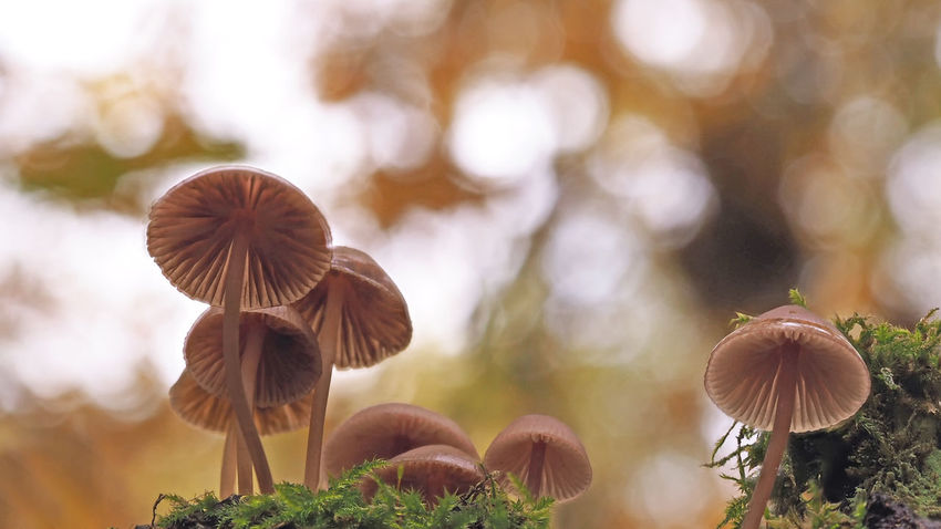 In the forest in Autumn - small mushrooms on a tree trunk / Pilze auf einem Baumstamm - kleine Helmlinge (Mycena) Baumpilze🍄 Beauty In Nature Close-up Day Forest Fungus 🍄 Grass Helmlinge Lights And Shadows Makro Mushrooms 🍄🍄 Mycena Nature No People Outdoors Pilze 🌾 Wald