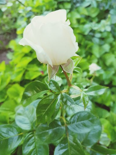 Rose - Flower Freshness White Color Flower Nature Plant Leaf Growth Beauty In Nature Day No People Flower Head Lithuania Nature Lovehomedecorating
