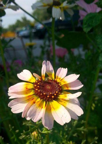 A single pretty, uniquely colored daisy in my garden