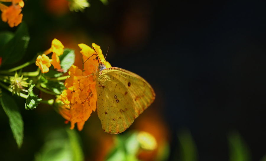100mm Macro Butterfly Close-up Focus On Foreground Kenya Nature No People One Insect Orange Flower Selective Focus Yellow