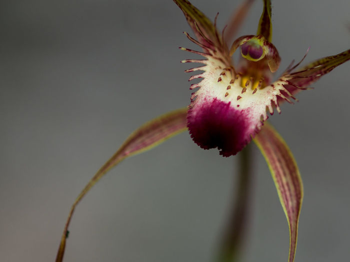 Beauty In Nature Blooming Blossom Botany Close-up Day Flower Flower Head Focus On Foreground Fragility Freshness Growth In Bloom Nature New Life No People Orchids Petal Pink Color Selective Focus Sepal Single Flower Softness Springtime