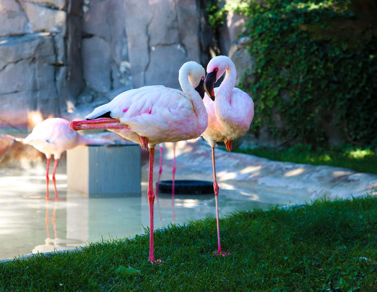 Fenicotteri Cornelle MR7 Animal Themes Animal Wildlife Animals In The Wild Beauty In Nature Bird Canon Close-up Day Eos77D Flamingo Grass Nature No People Outdoors Perching Pink Color Water