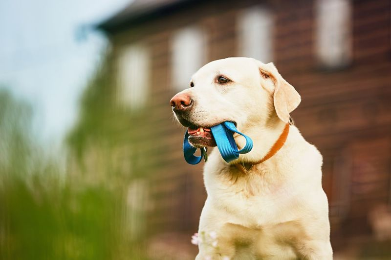 Dog carrying pet collar in mouth while sitting against house