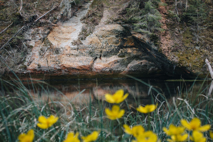 Greenery Latvia Cave Cesis Spring Nature Naturelovers Nature_collection Yellow Flower Flower Flower Head Yellow Water Close-up Plant In Bloom Blooming