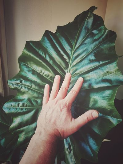 big green leaf Plant Leaf Nature Fanned Out Palm Leaf Vein Blooming Plant Life Growing Human Finger