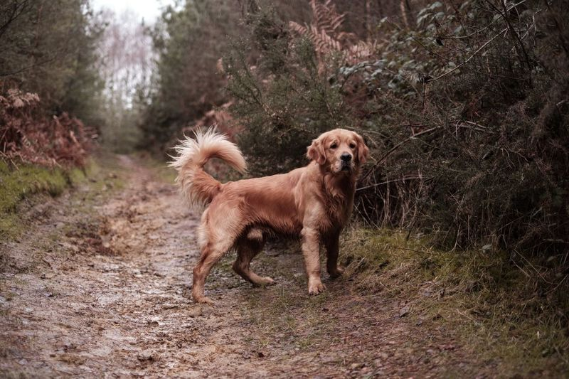 Golden Retriever Dogs Of EyeEm