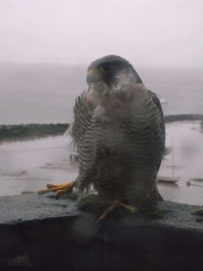 Pere The Peregrine Falcom Lucky Landing On My Window Sill A Blessing To Be So Close To The Fastest Bird Of Prey