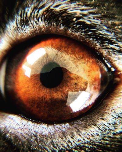 Check This Out EyeEm Best Shots Eyeemmacro Macro Photography EyeEm Macro Macro Beauty Dachshund Dog Dogeyes Dackel Weeniedog Dachshundlovers Eye Eyes