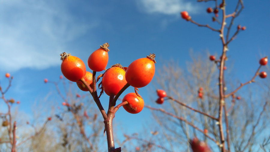 Close-Up Of Fruits On Twigs Against Sky During Sunny Day