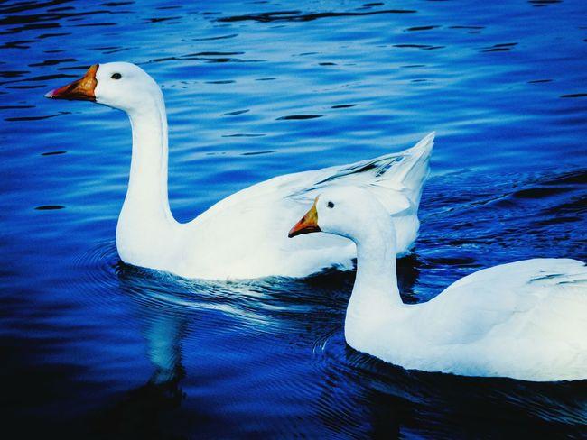 Nature Birds Ducks Ornithology  Peace Eyem Best Shots EyeEm Nature Lover Yudhvir The Week On EyeEm